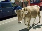 Vaca vanduta